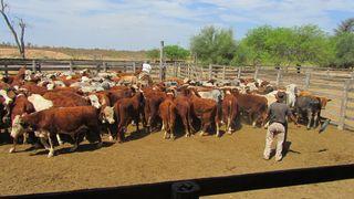 Rinder in Paraguay: Eine Investition in die Produktion von Nahrungsmitteln ist unabhängig von Wertpapierbörsen oder Aktienindizes. Foto: Agri Terra